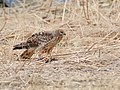 Hen Harrier (Circus cyaneus) (45960863151).jpg
