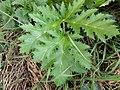 Heracleum mantegazzianum 118292450.jpg