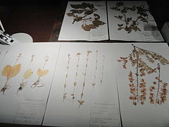 Herbarium specimens - Kyoto University Museum - DSC06472.JPG