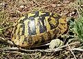 Hermann's Tortoise. Testudo hermanni (44643350702).jpg
