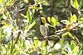 Hermit Warbler (male) Huachuca Canyon (upper) Sierra Vista AZ 2019-05-05 11-53-24 (32840277287).jpg