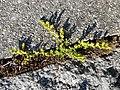 Herniaria glabra sl7.jpg