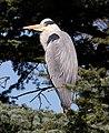 Heron (7022162481).jpg