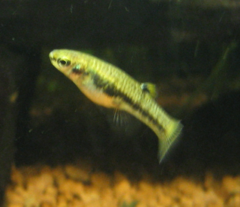 Heterandria formosa adult female.png