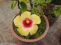 Hibiscus rosa sinensis-18-yercaud-salem-India.jpg