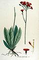 Hieracium aurantiacum — Flora Batava — Volume v15.jpg
