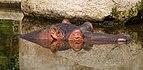 Hippopotamus amphibius - Karlsruhe Zoo.jpg