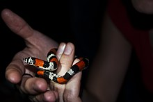 South American hognose snake mimicking a coral snake