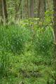 Hoher Vogelsberg Wannersbruch NR 319289 Alnus glutinosa Swamp.png