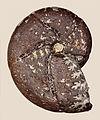 Holcophylloceras calypso 01.JPG