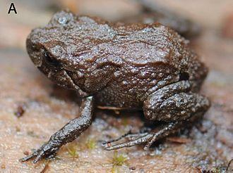 Phrynopus - Phrynopus badius