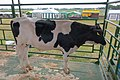 Holstein Friesian bull in Belarus.jpg