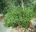 Homalocladium platycladum 01 ies.jpg