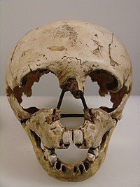 Homo neanderthalensis face (University of Zurich).JPG