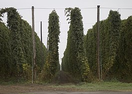 Full grown hops bines.