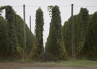 Hops - Fully grown hops bines ready for harvest on the Yakama Indian Reservation