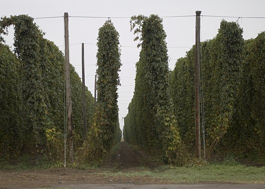 Fully grown hops bines ready for harvest on the Yakama Indian Reservation Hops on the Yakima Reservation.jpg