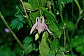 Horn-Bad Meinberg - 2014-06-06 - LIP-020 - Aquilegia vulgaris (1).jpg
