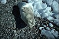 Horseshoe I Weddell seal juvenile.jpg