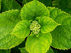 Hydrangea macrophylla - Bud and leaves of Hydrangea macrophylla