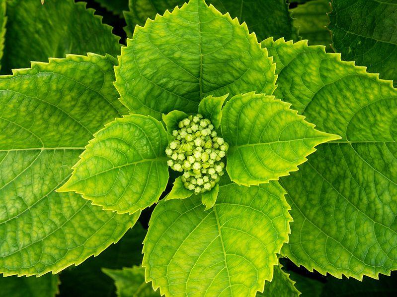 Ficheiro:Hortensia-1.jpg