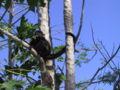 Howler monkey20020316.JPG