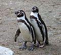 Humboldt-Pinguin Tierpark Hellabrunn-6.jpg