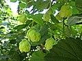 Humulus lupulus (Cannabaceae), Elst (Gld), the Netherlands.jpg