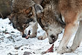 Hungry wolves (4197676650) (2).jpg