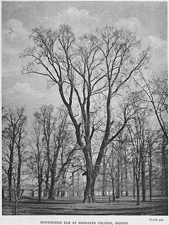 Ulmus × hollandica - Image: Huntingdon elm at Magdalen College, Oxford