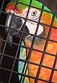 Hybrid Ara macaw.jpg