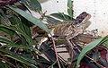 Hydrosaurus pustulatus 2.jpg