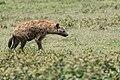 Hyena Stalking Prey (50051179628).jpg