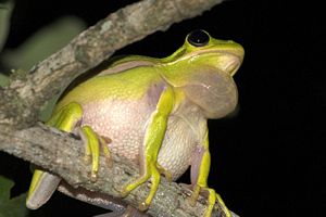 American green tree frog - With distended vocal sac
