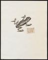 Hyla surinamensis - 1700-1880 - Print - Iconographia Zoologica - Special Collections University of Amsterdam - UBA01 IZ11500215.tif