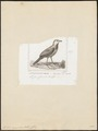 Hylactes megapodius - 1838 - Print - Iconographia Zoologica - Special Collections University of Amsterdam - UBA01 IZ19200429.tif