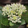 Hylotelephium verticillatum (bud).jpg