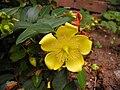 Hypericum.flower.750pix.jpg
