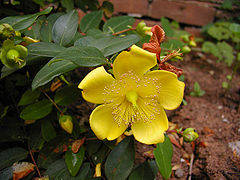 Hypericum calycinum cv. 'Hidcote'