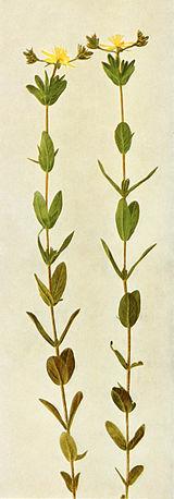 Hypericum ellipticum WFNY-130B.jpg