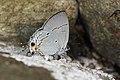 Hypolycaena narada, the Banded Tit.jpg
