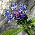 IMG 6287-Centaurea montana.jpg