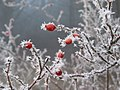 Ice crystals on dog rose - panoramio.jpg