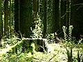 Idarwald - bei Stipshausen - panoramio (1).jpg