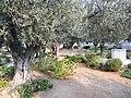 Ierusalim, Muntele Maslinilor (Gradina Ghetsimani)(9).jpg