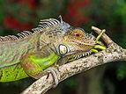Iguana iguana, Gembira Loka Zoo, Yogyakarta, 2015-03-15 01.jpg