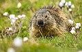 Il pranzo della marmotta - Ceresole Reale.jpg