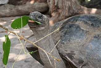 Aldabra giant tortoise - A giant tortoise browsing leaves