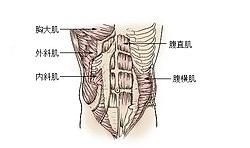 Illu trunk muscles zh.jpg