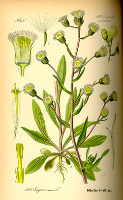 Illustration Erigeron acer0.jpg